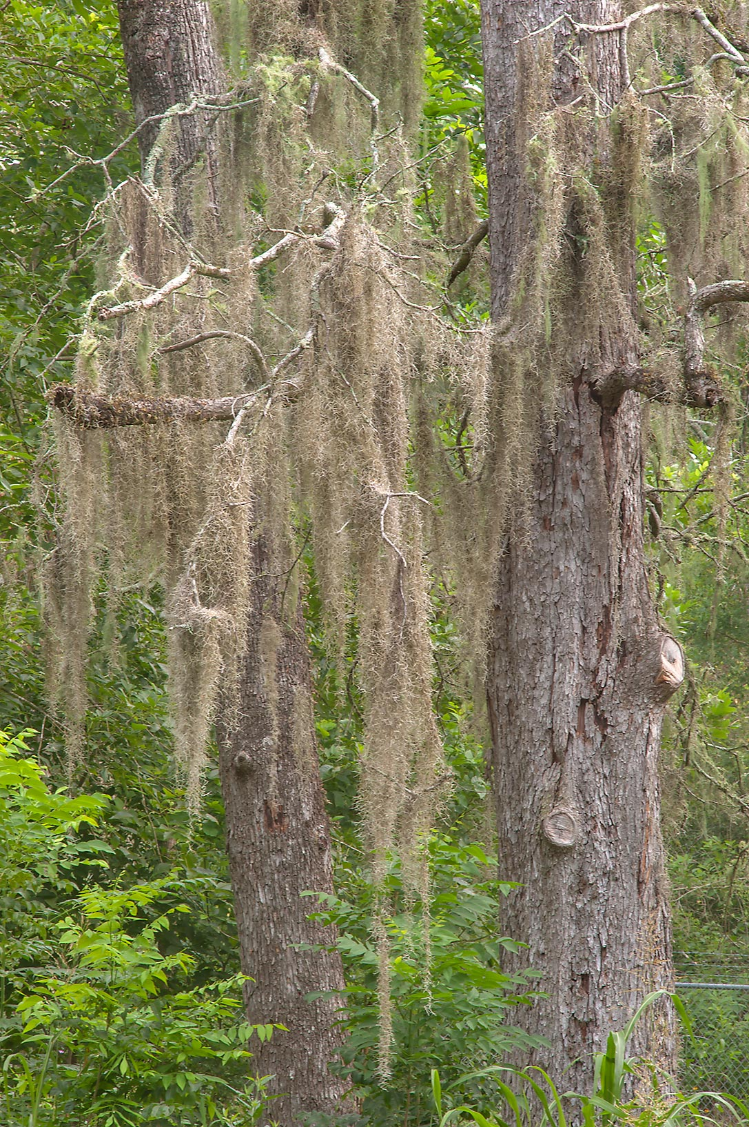 Spanish moss on Racoon Run Trail in Lick Creek Park. College Station, Texas