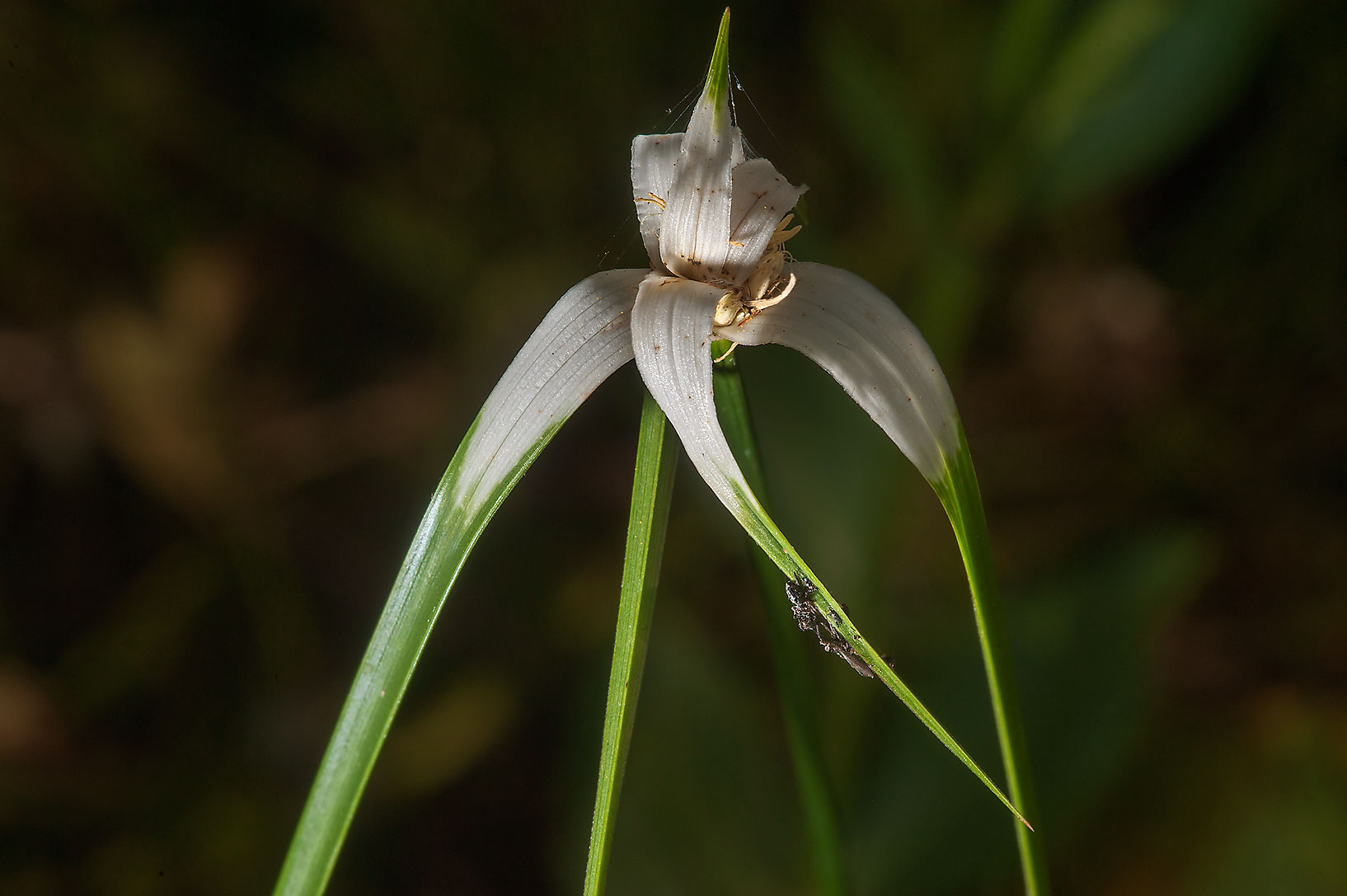 White top sedge in Mercer Arboretum and Botanical Gardens. Humble (Houston area), Texas