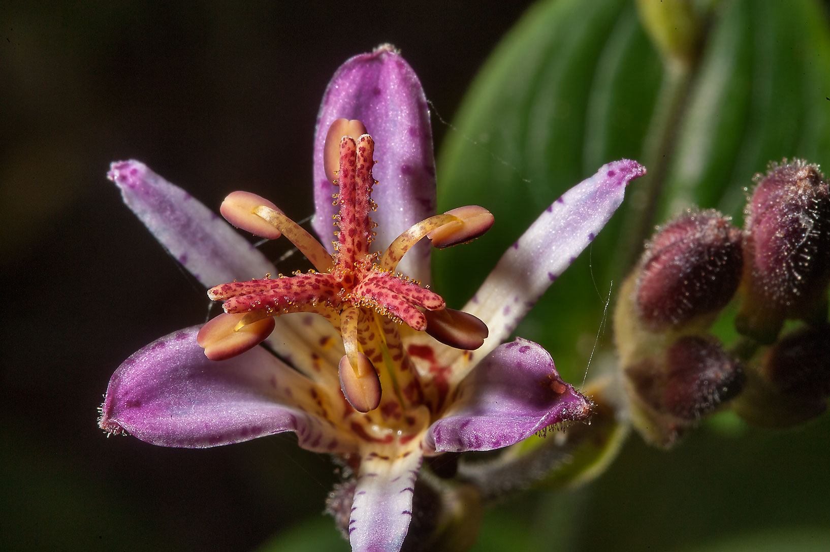 Toad Lily (Tricyrtis hirta) in Mercer Arboretum...Gardens. Humble (Houston area), Texas