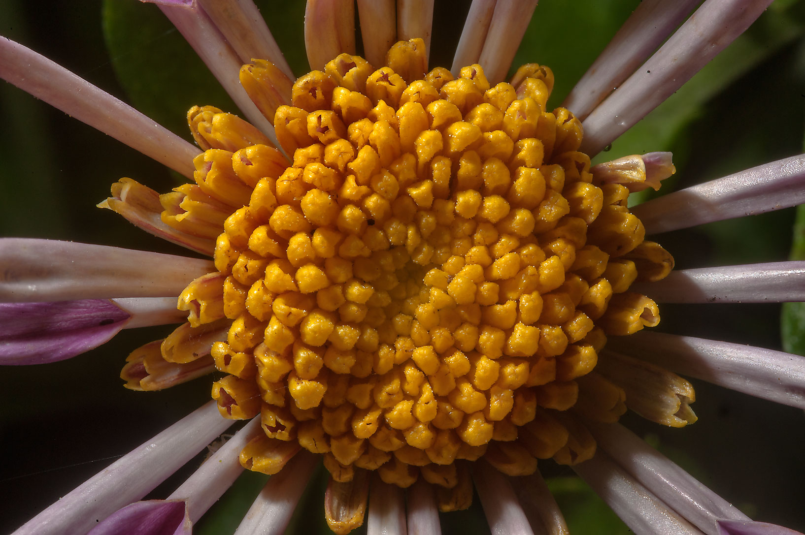 Close up of Chrysanthemum x 'Point Pelee' in...Gardens. Humble (Houston area), Texas