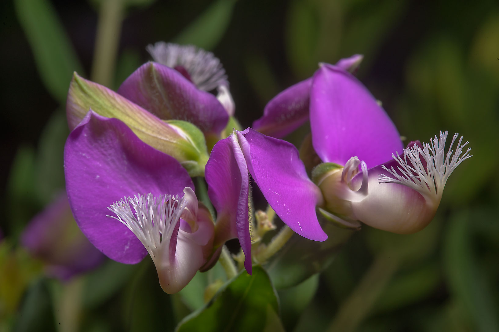 Sweet-pea shrub (Polygala x dalmasiana) in Mercer...Gardens. Humble (Houston area), Texas