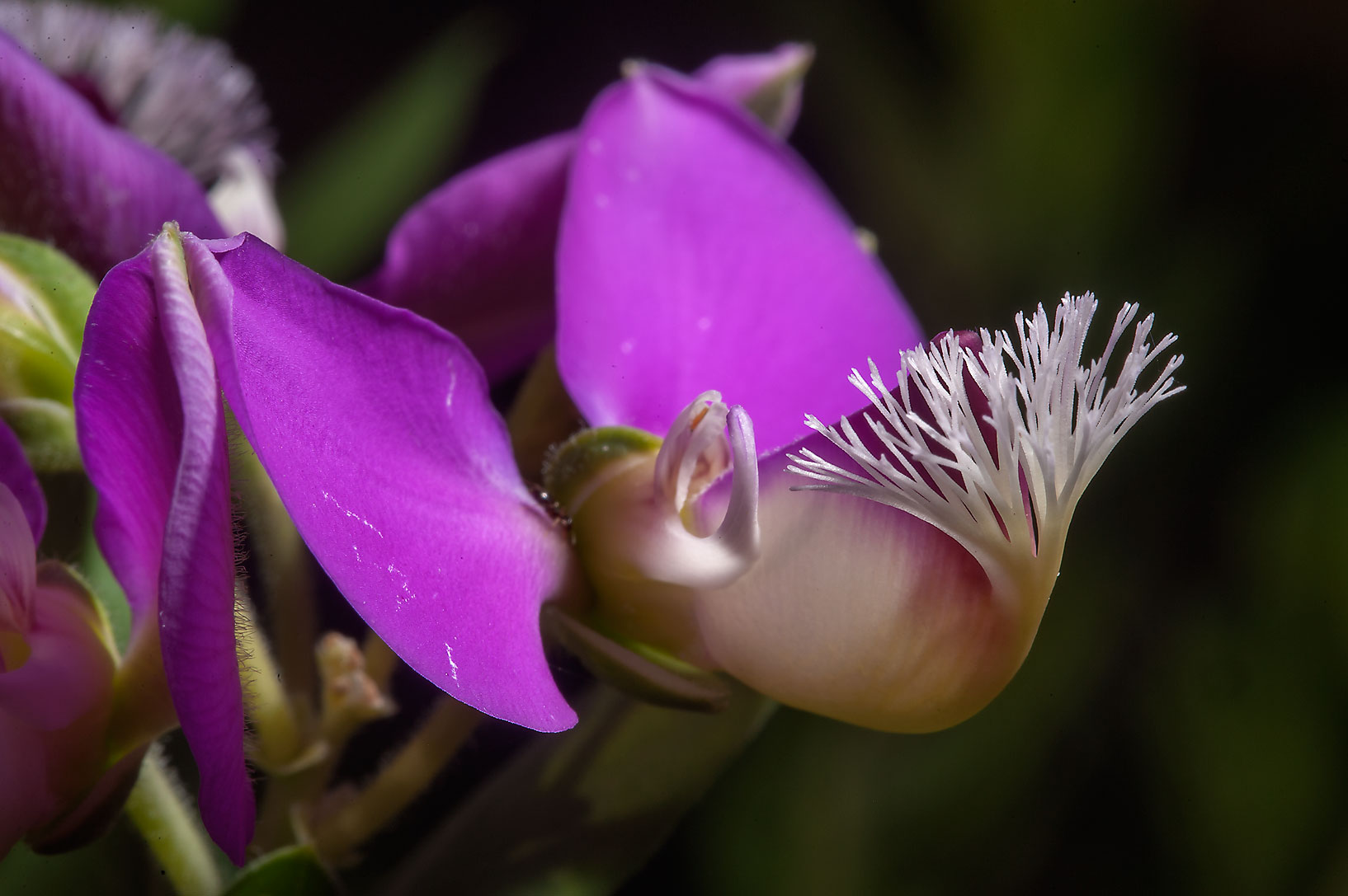 Flowers of sweet-pea shrub (Polygala x dalmasiana...Gardens. Humble (Houston area), Texas
