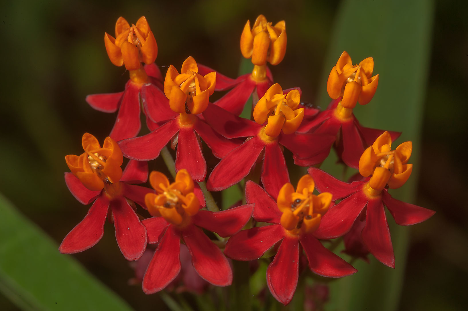 Red flowers of milkweed (Asclepias curassavica...Gardens. Humble (Houston area), Texas