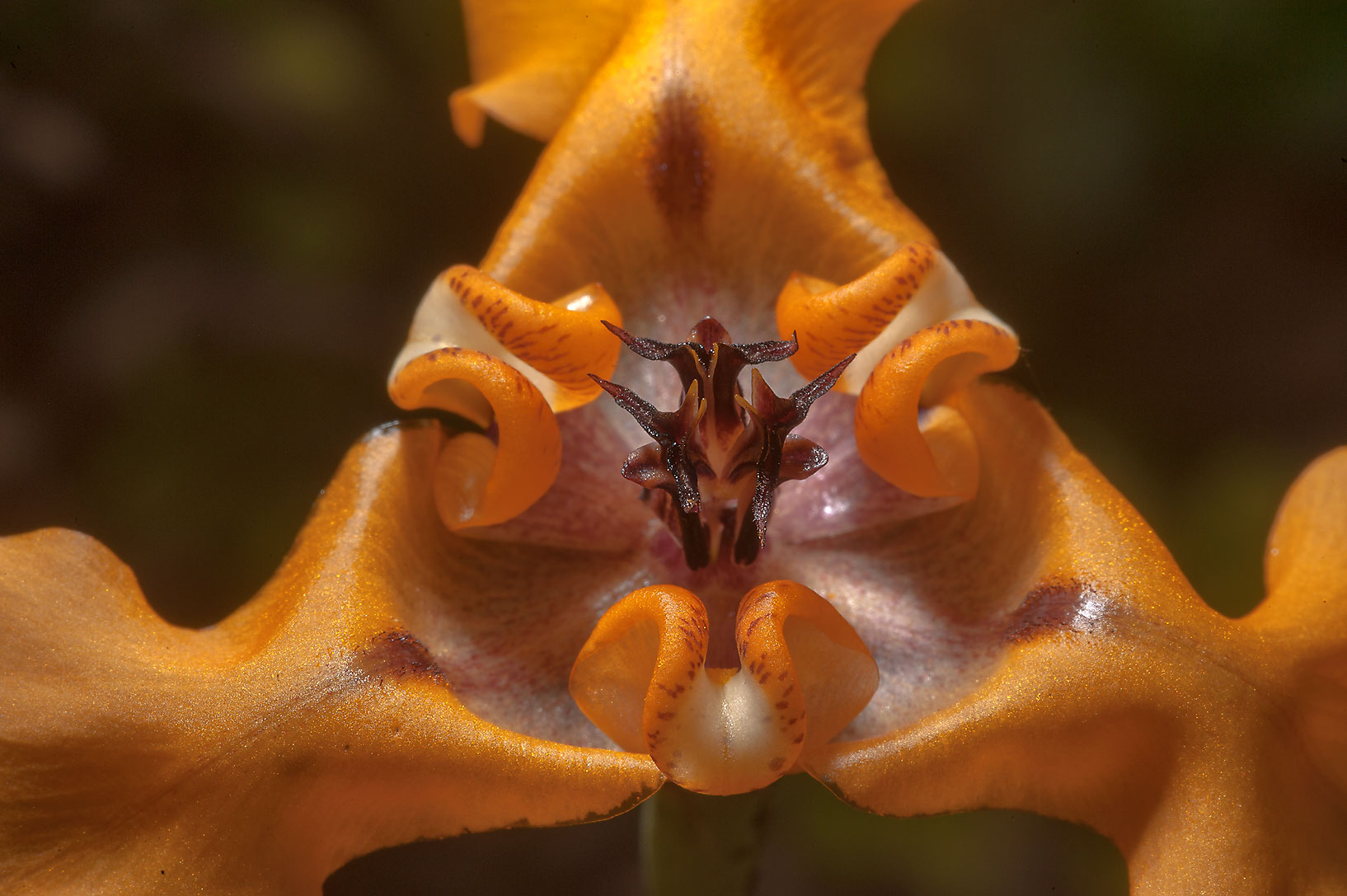 Close up of Herbert's Goblin flower (Cypella...Gardens. Humble (Houston area), Texas