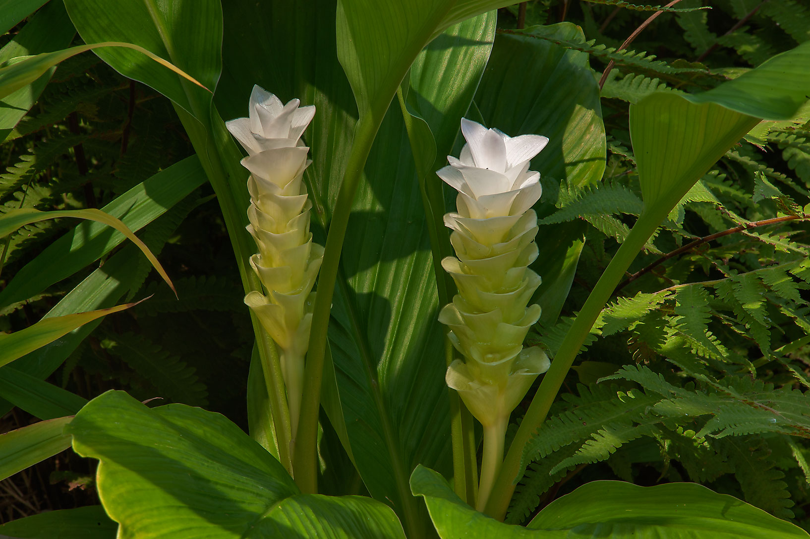 Hidden ginger (Curcuma cordata 'white' or may be...Gardens. Humble (Houston area), Texas