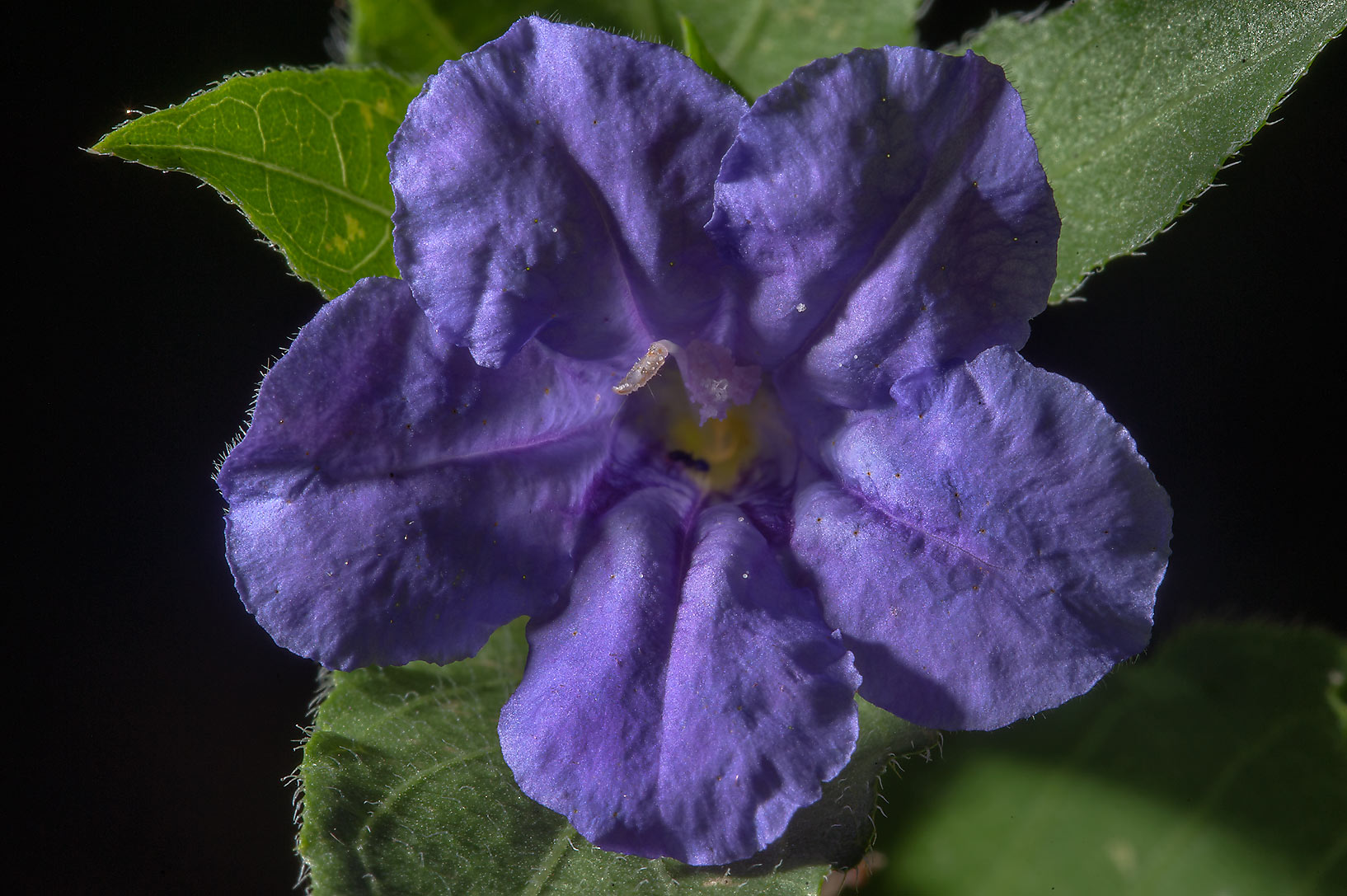 Ruellia flower on Park Hudson Trail. College Station, Texas