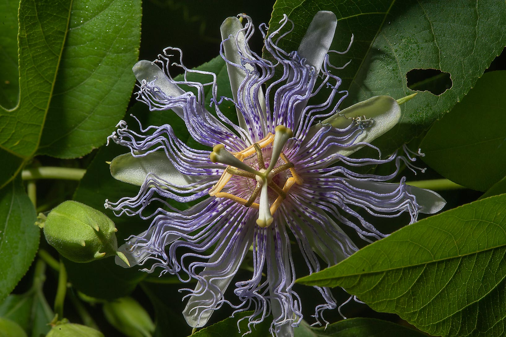 Passion flower (Passiflora) on Park Hudson Trail. College Station, Texas