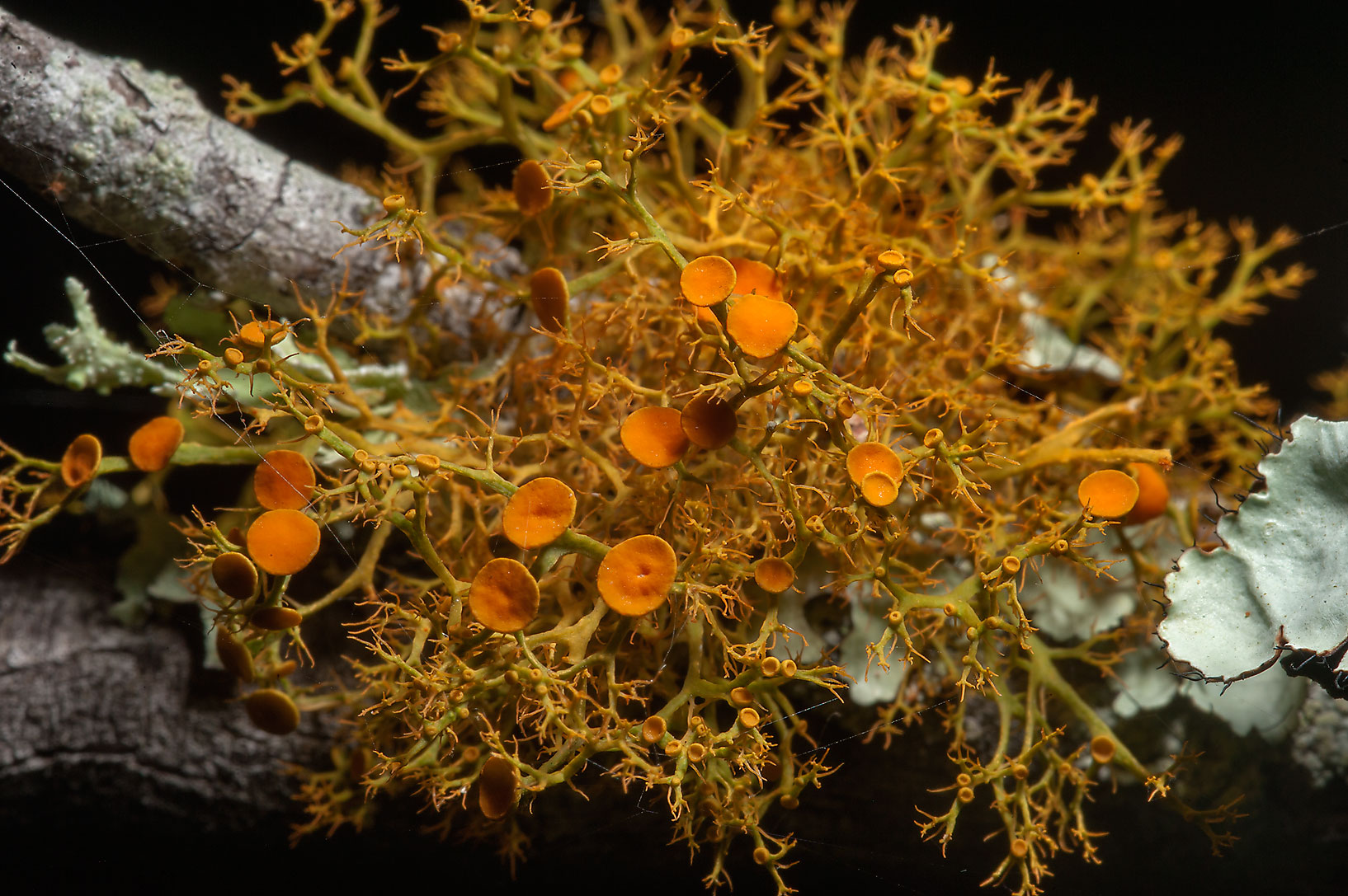 Slender orange bush lichen (Teloschistes exilis...Central Park. College Station, Texas