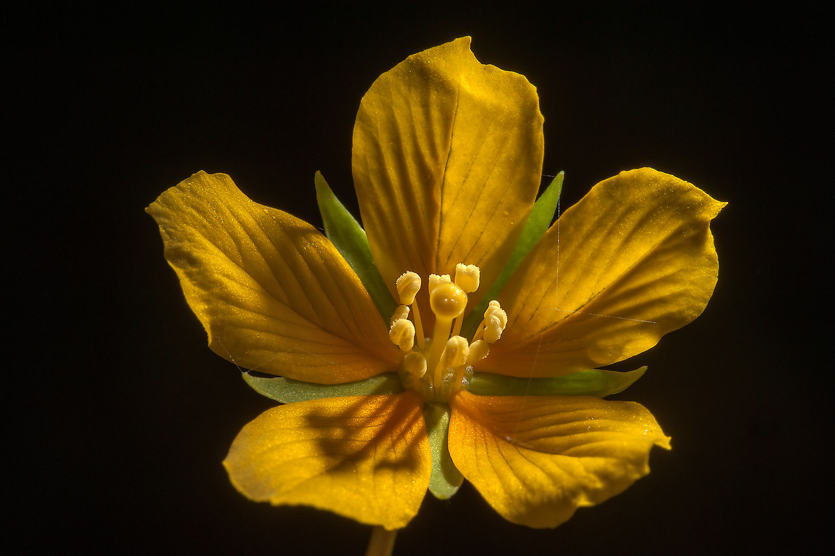 Yellow flower of floating primrose-willow...Central Park. College Station, Texas