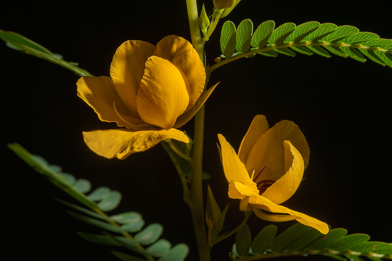 Partridge pea (Cassia fasciculata) in Lick Creek Park. College Station, Texas