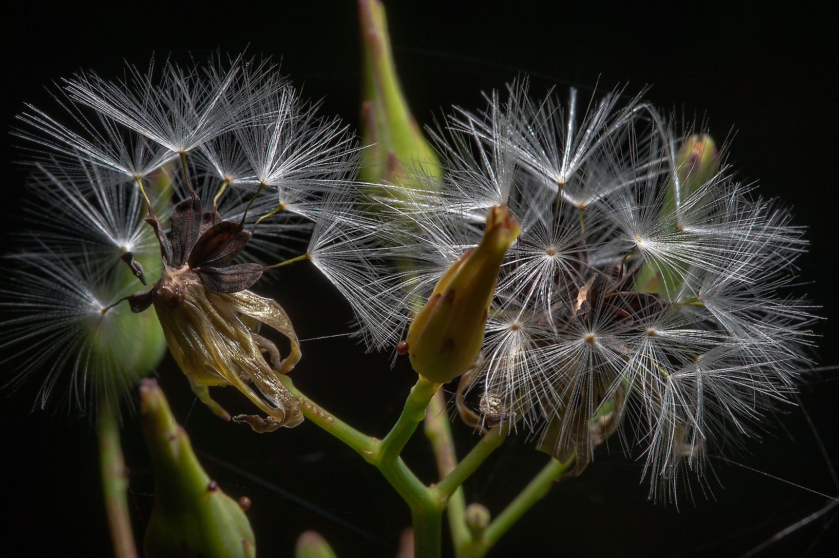 Seeds of woodland lettuce (Lactuca floridana ) in Lick Creek Park. College Station, Texas
