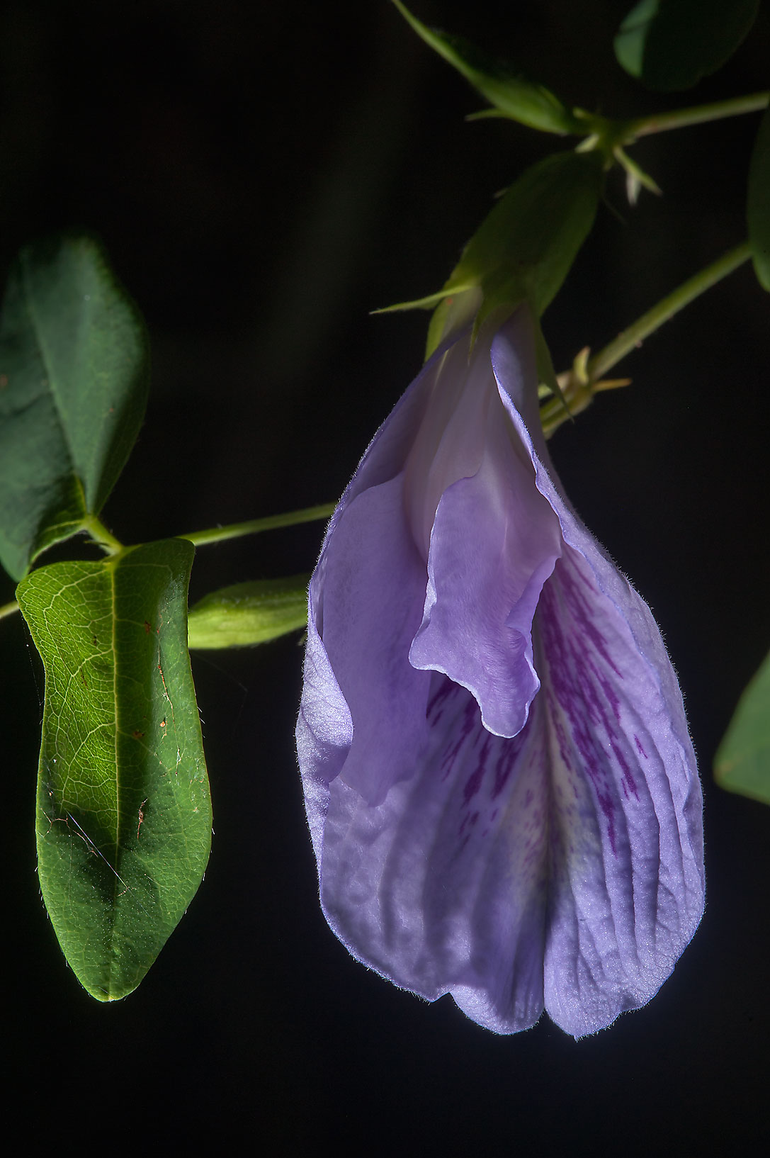 Flower of Pigeon wings (Clitoria mariana) in Lick Creek Park. College Station, Texas