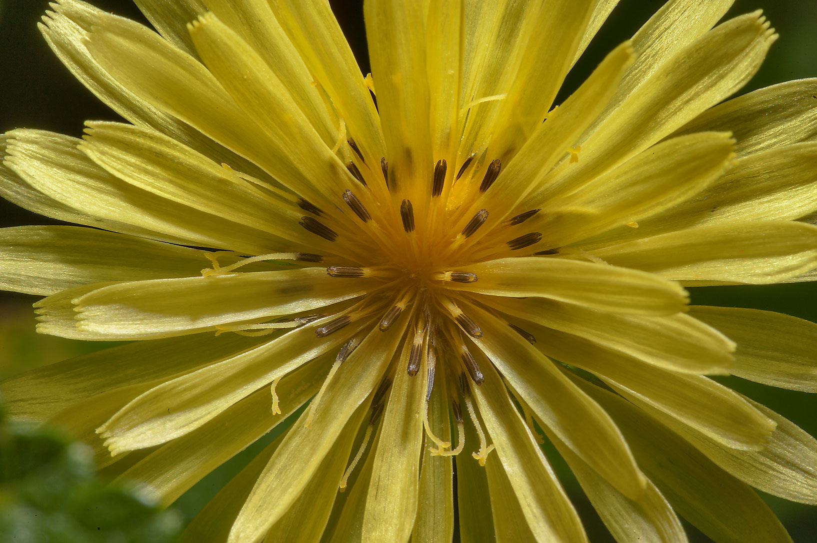 Texas dandelion in Lick Creek Park. College Station, Texas