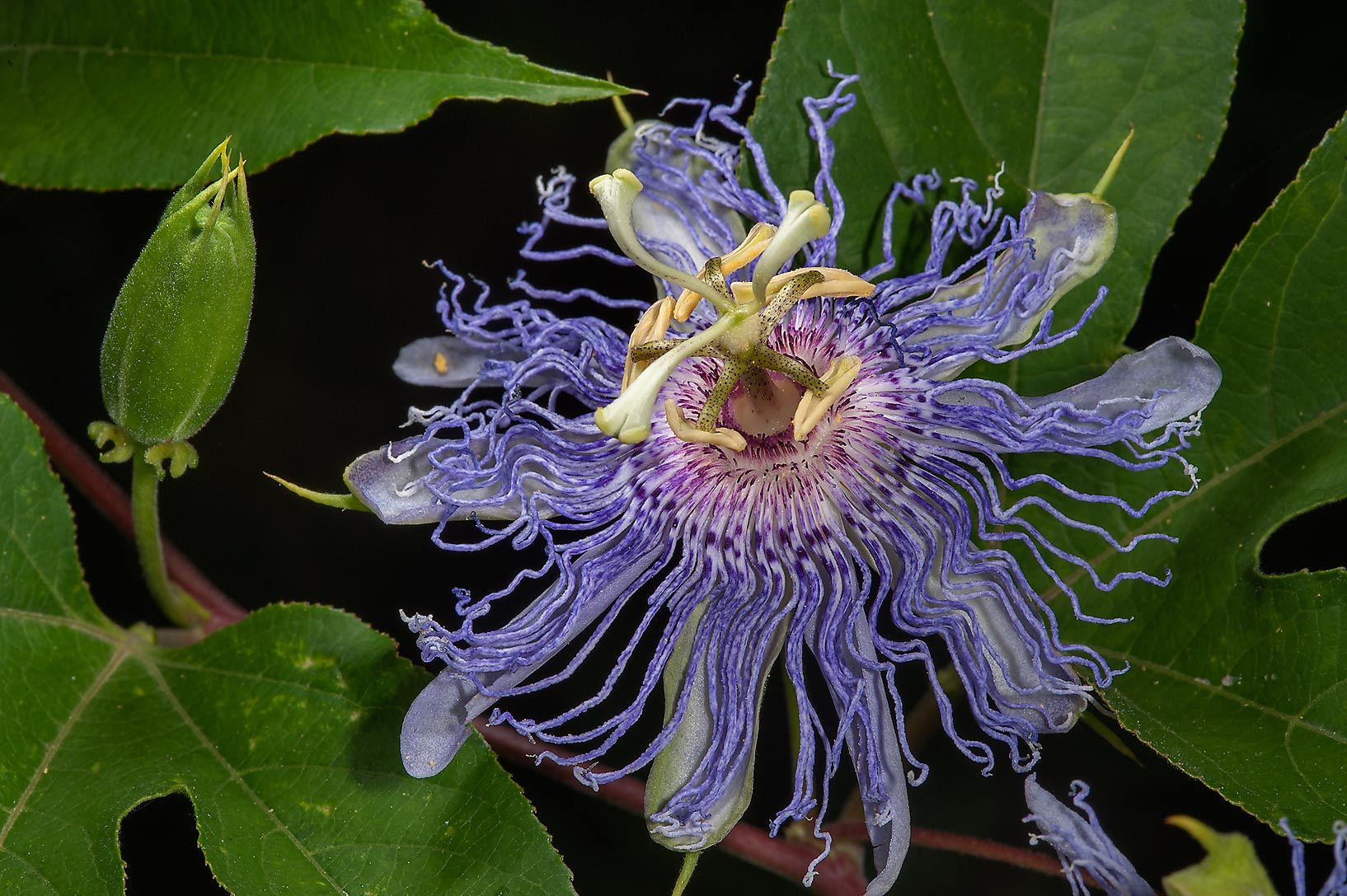 Blooming Passion flower (Passiflora) in Lemontree Park. College Station, Texas