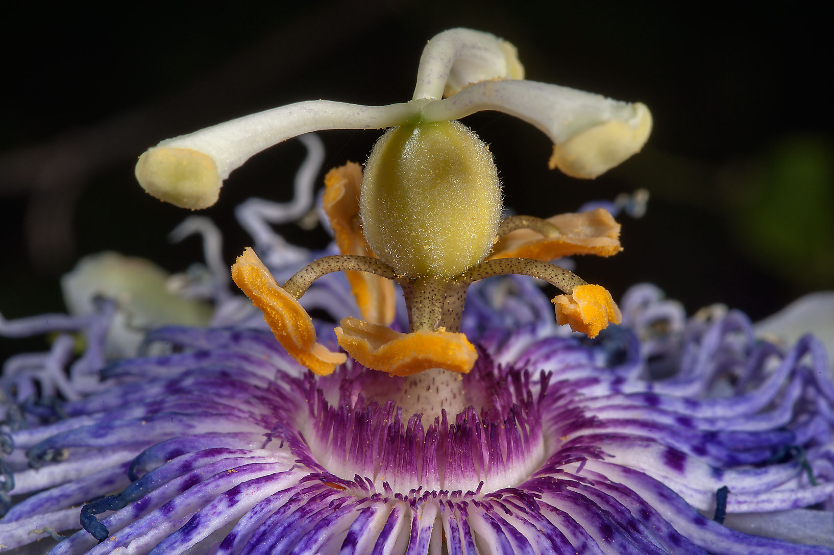 Pistil of Passion flower (Passiflora) in Lemontree Park. College Station, Texas