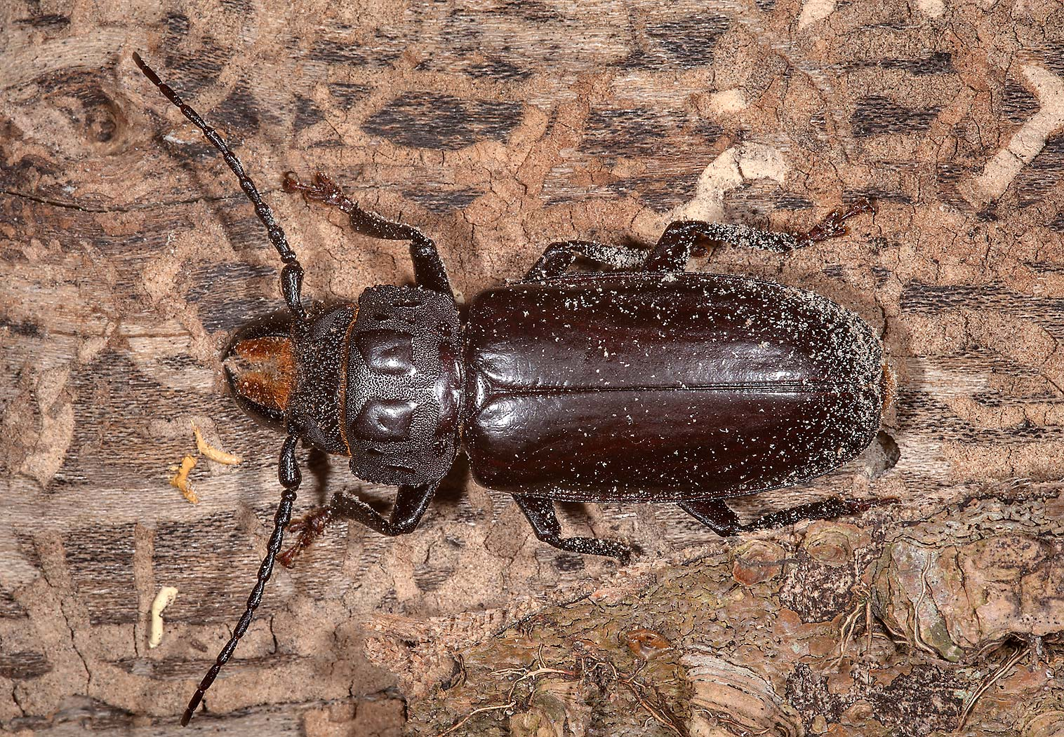 Prionid longhorned beetle (hardwood stump borer...State Historic Site. Washington, Texas