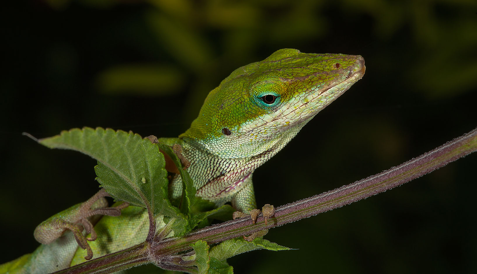 Green anole lizard in Antique Rose Emporium. Independence, Texas
