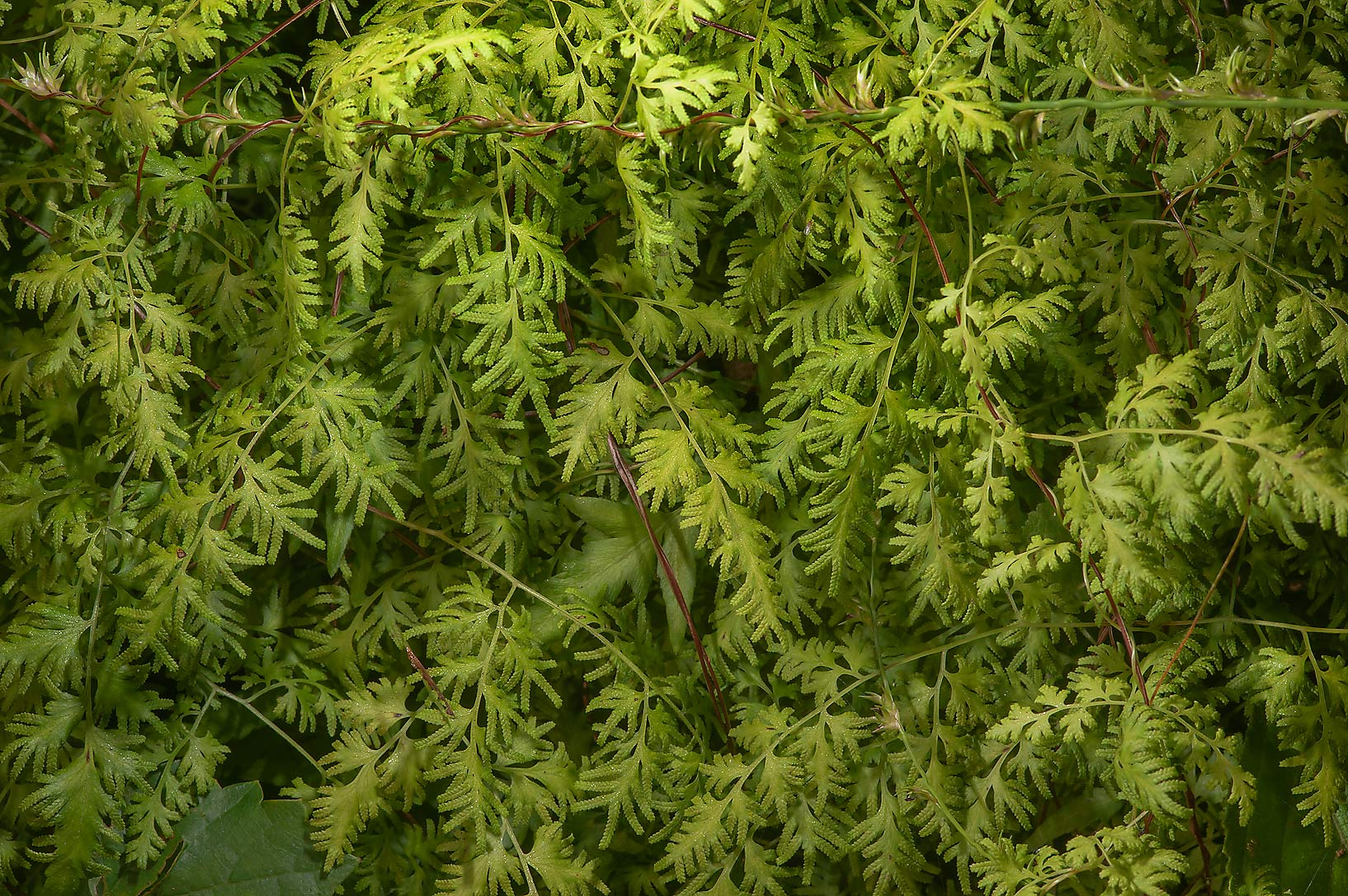 Climbing fern (Lygodium japonicum) on Little Lake...National Forest. Richards, Texas
