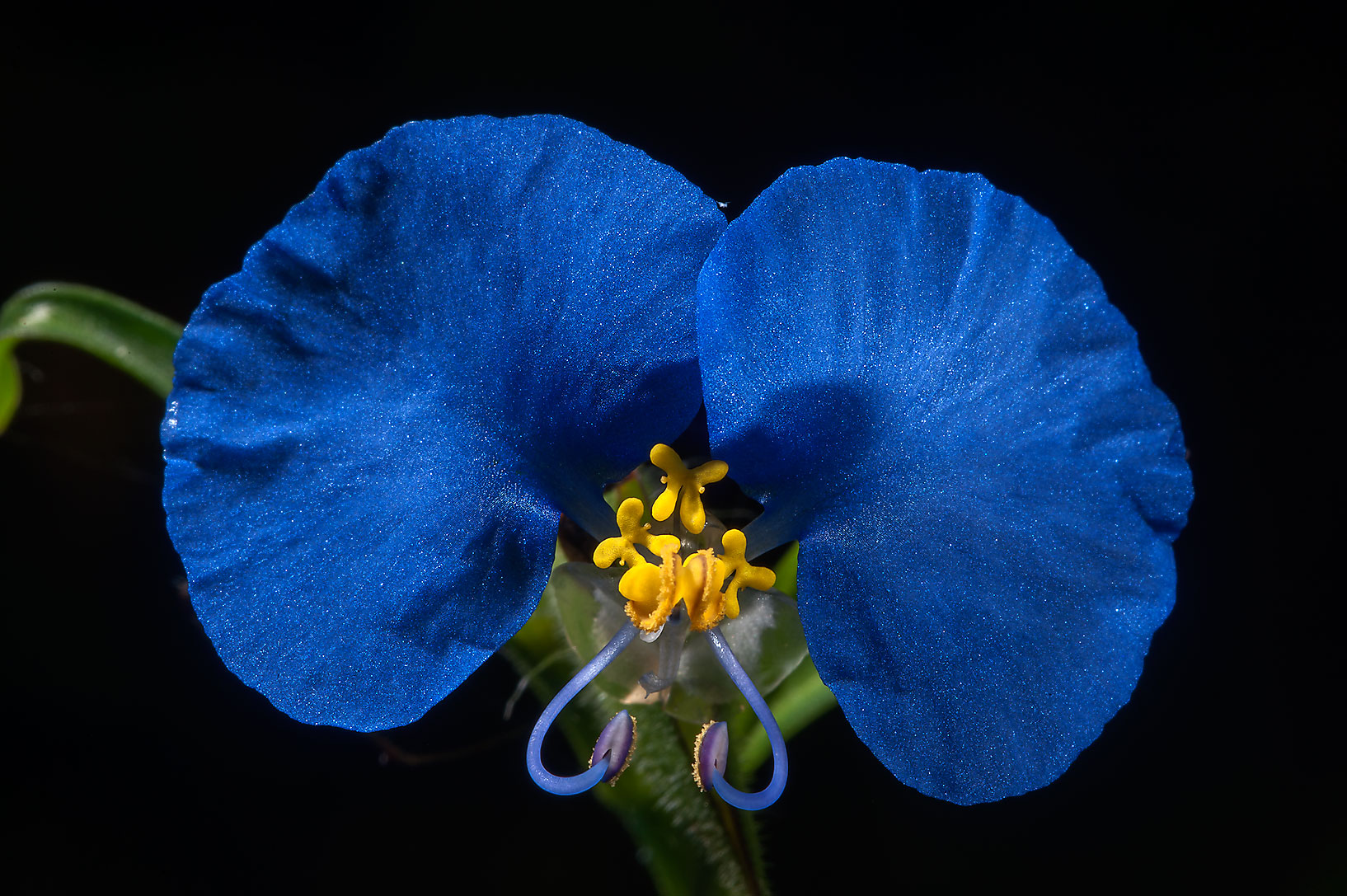 Commelina flower on Little Lake Creek Loop Trail...National Forest. Richards, Texas