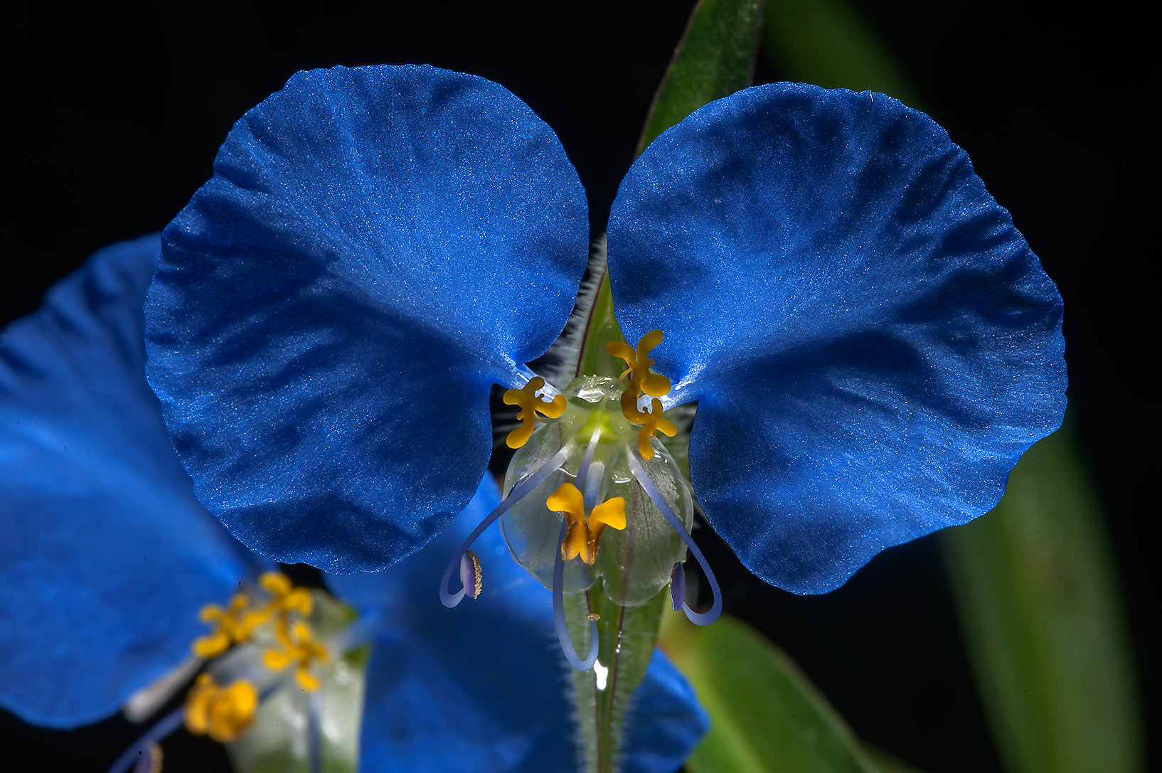 Blue flower of Commelina on Little Lake Creek...National Forest. Richards, Texas