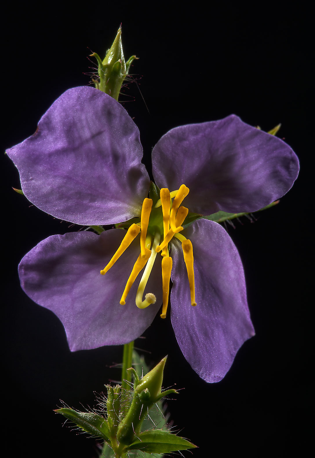Maryland meadow-beauty (Rhexia mariana) on Little...National Forest. Richards, Texas