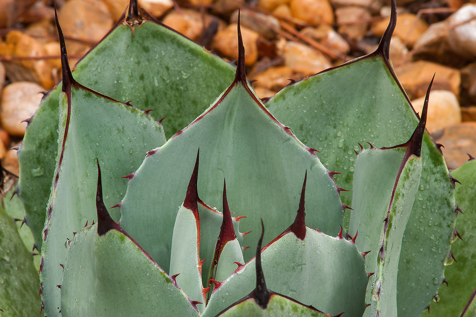 Parry's agave (Agave parryi) in Mercer Arboretum...Gardens. Humble (Houston area), Texas