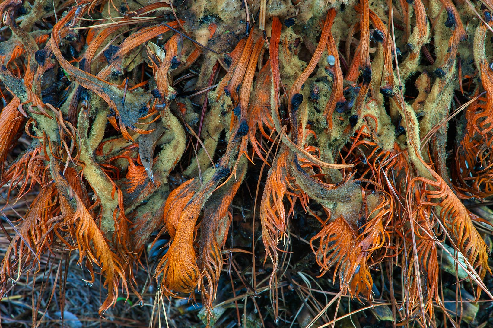 Dry leaves of sago palm in Mercer Arboretum and...Gardens. Humble (Houston area), Texas