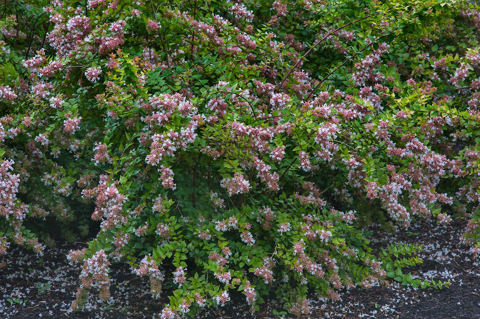 Blooming abelia in Mercer Arboretum and Botanical Gardens. Humble (Houston area), Texas