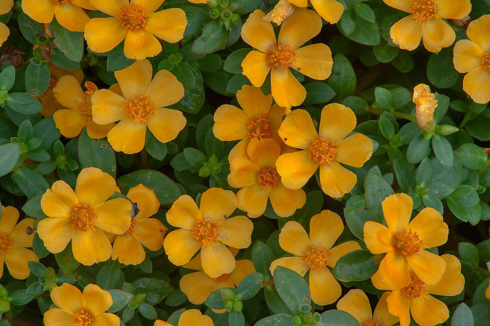 Yellow flowers of portulaca in Mercer Arboretum...Gardens. Humble (Houston area), Texas