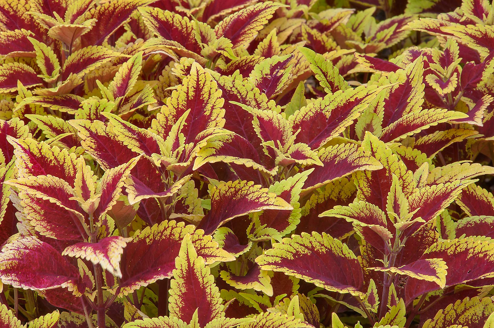 Coleus in Mercer Arboretum and Botanical Gardens. Humble (Houston area), Texas