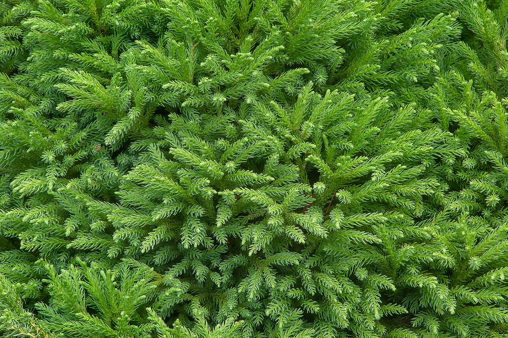 Japanese cedar (Cryptomeria japonica 'Compacta...Gardens. Humble (Houston area), Texas