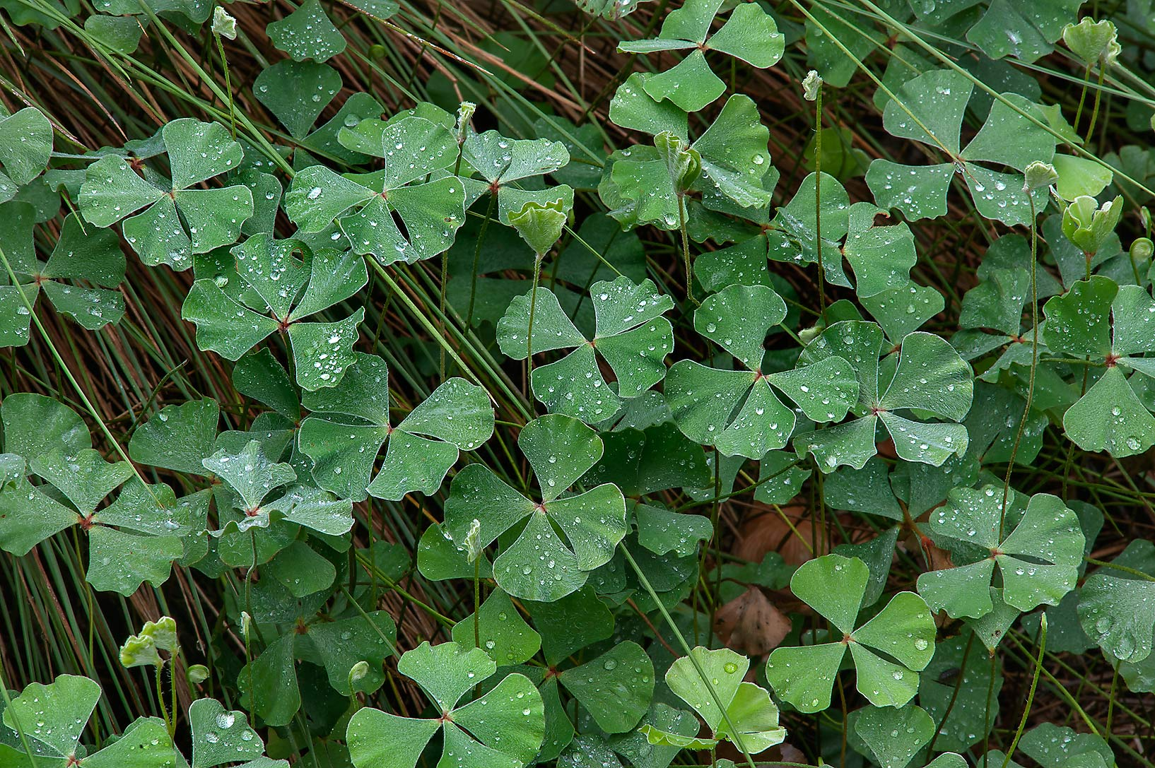 Wood sorrel like plant in Mercer Arboretum and...Gardens. Humble (Houston area), Texas