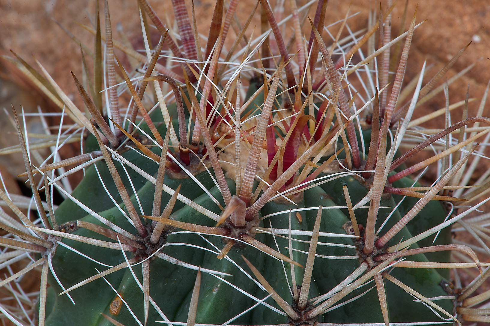 Barrel cactus (Ferrocactus species) in Mercer...Gardens. Humble (Houston area), Texas