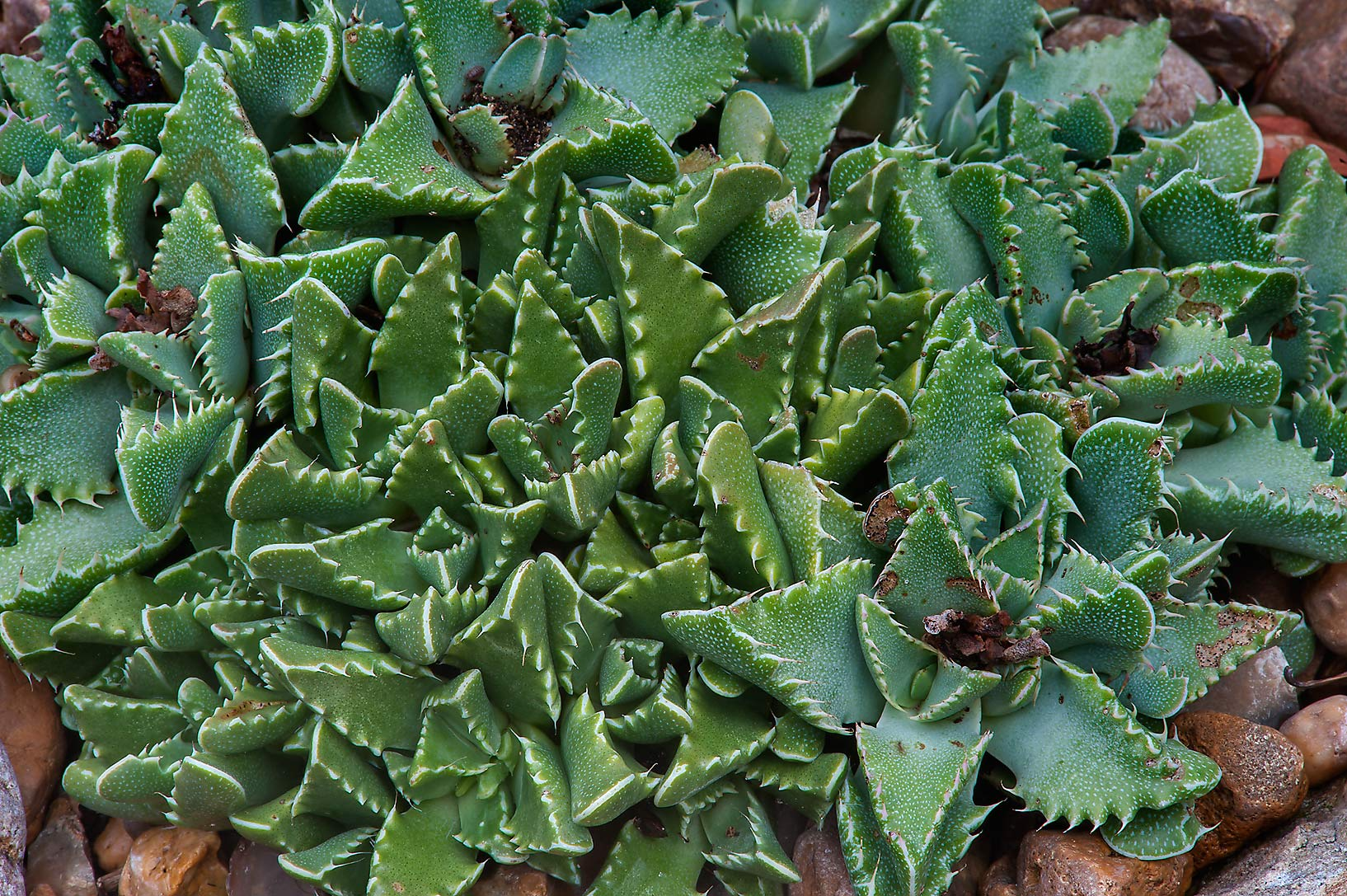 Tiger jaws succulent plant (Faucaria) in Mercer...Gardens. Humble (Houston area), Texas