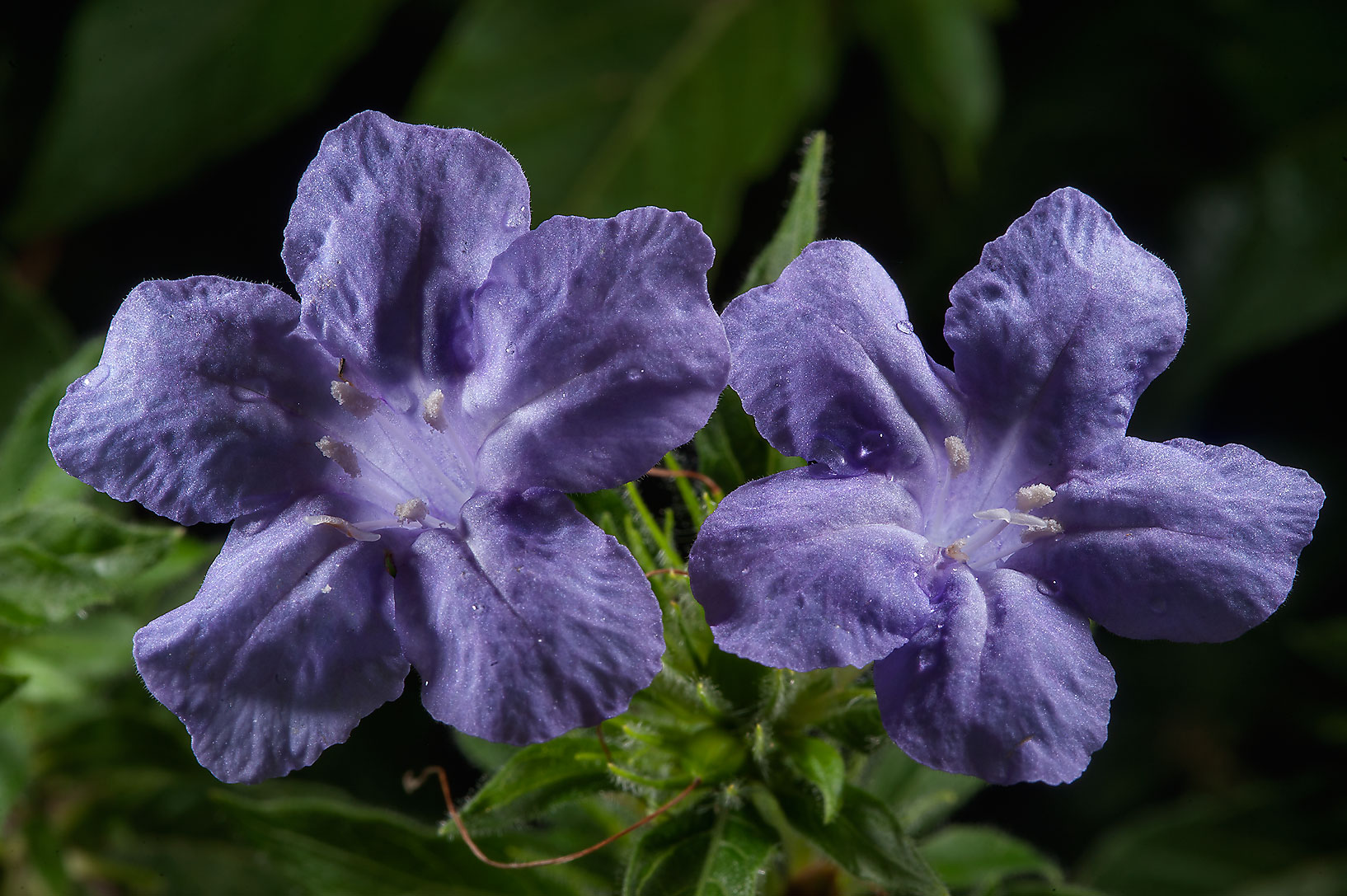 Wild petunia (Ruellia caroliniensis) in Mercer...Gardens. Humble (Houston area), Texas