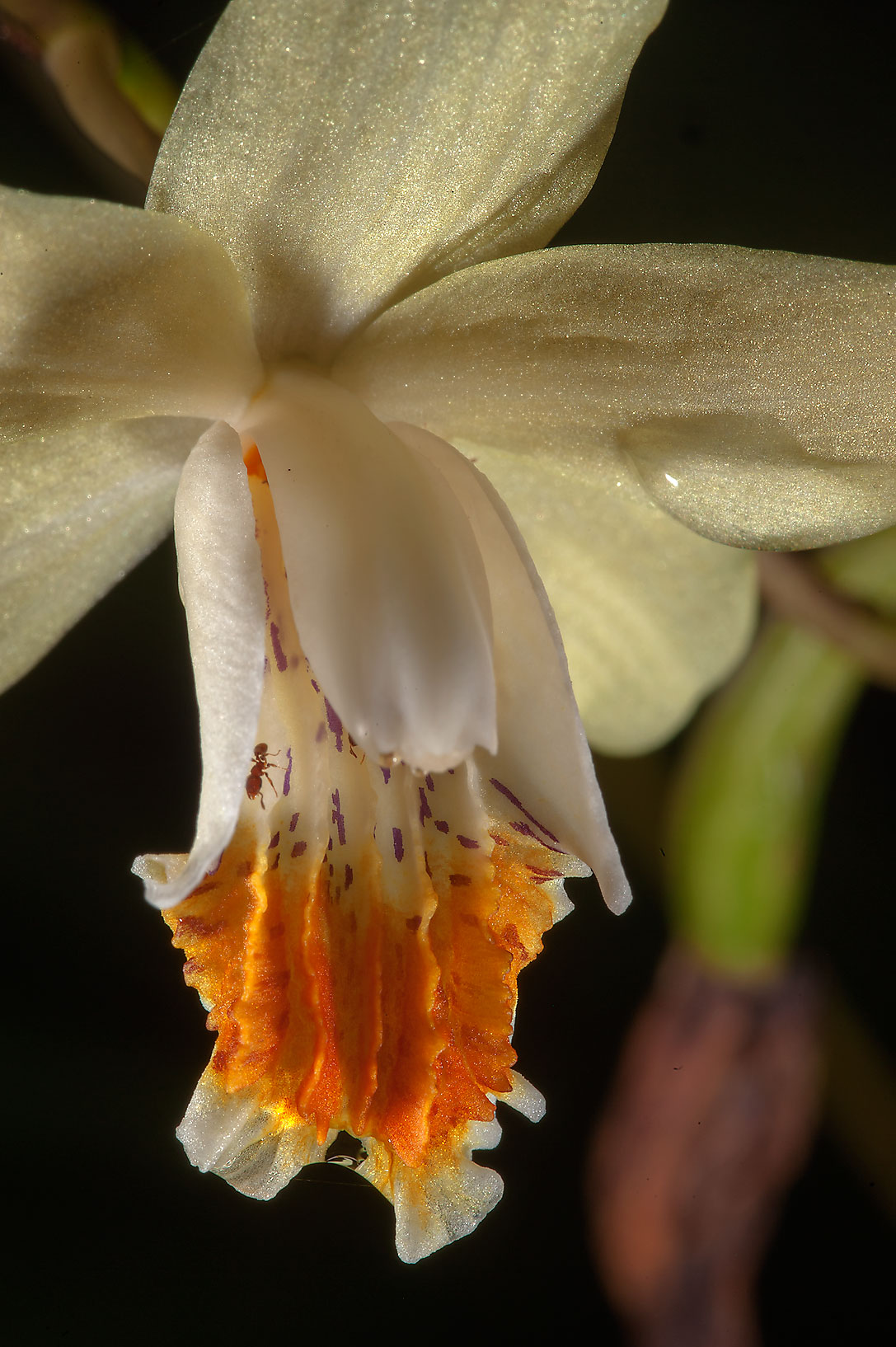 Close up of an orchid flower in Mercer Arboretum...Gardens. Humble (Houston area), Texas