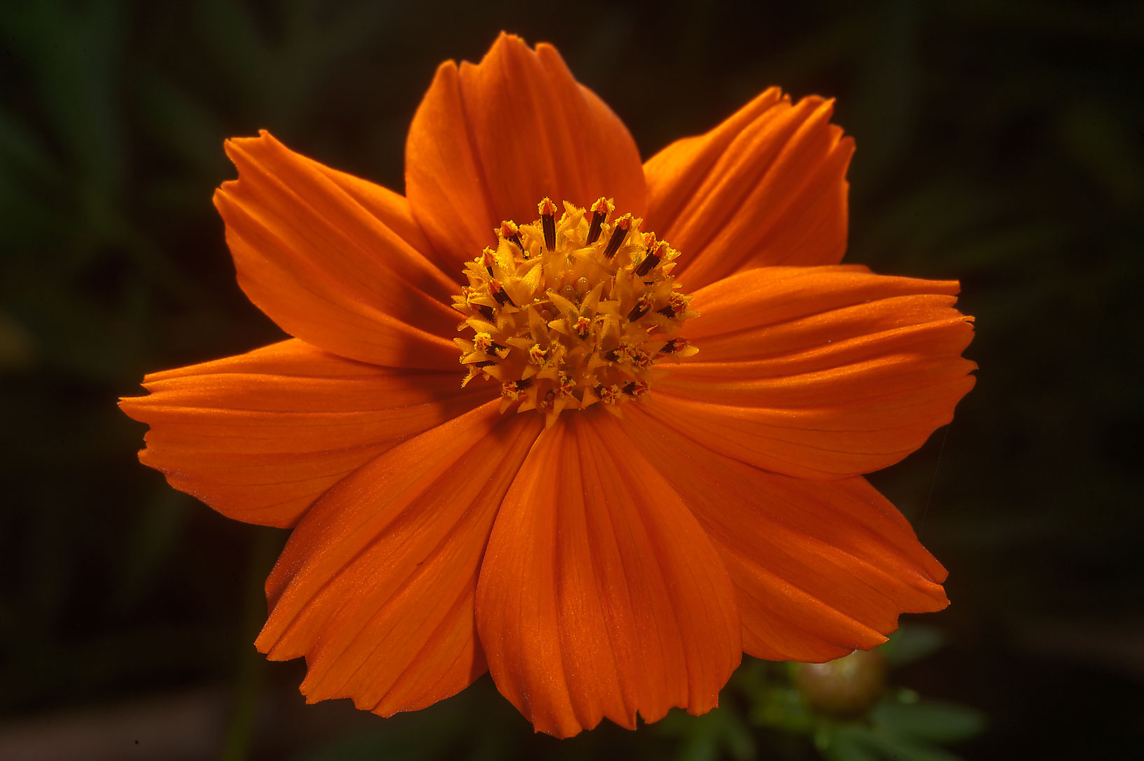 Orange flower of coreopsis in Mercer Arboretum...Gardens. Humble (Houston area), Texas