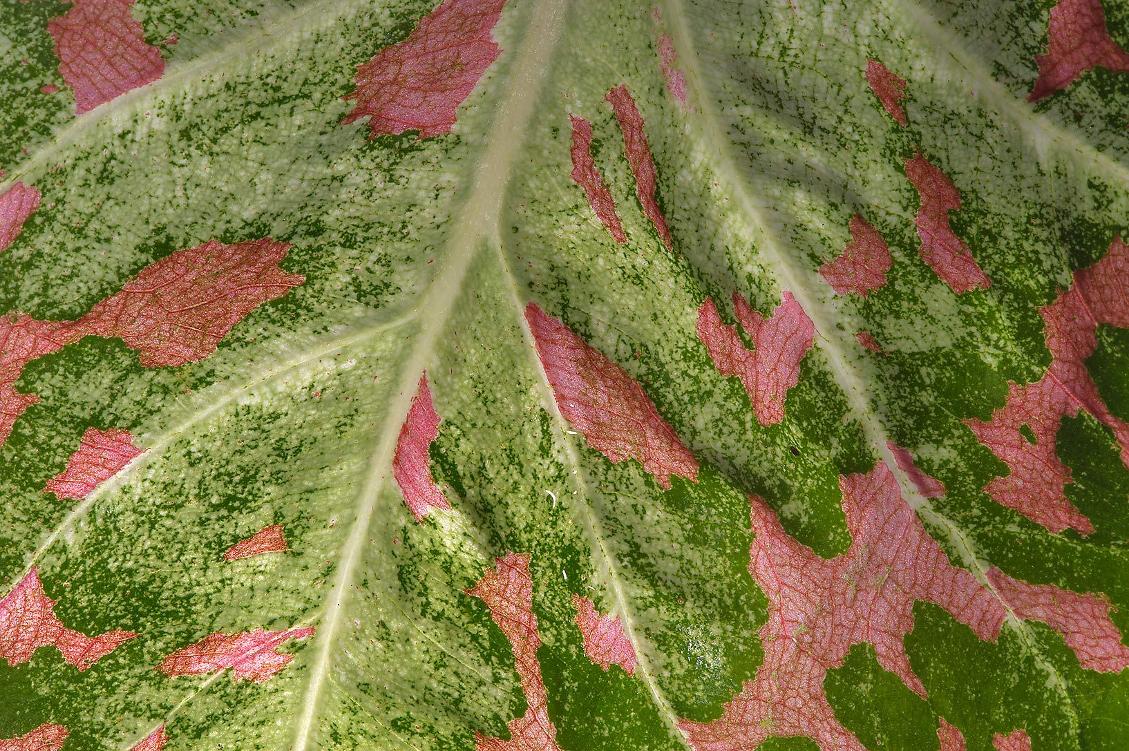 Back lit leaf of fancy-leaved caladium (Caladium...Gardens. Humble (Houston area), Texas