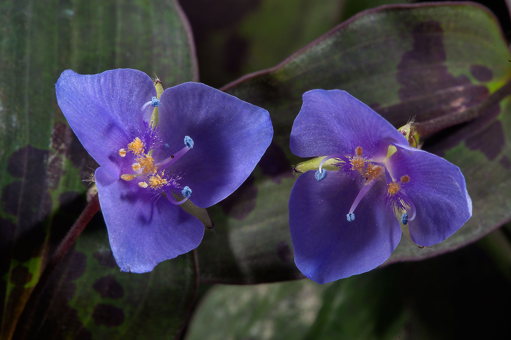 Small blue flowers of Tradescantia in Mercer...Gardens. Humble (Houston area), Texas
