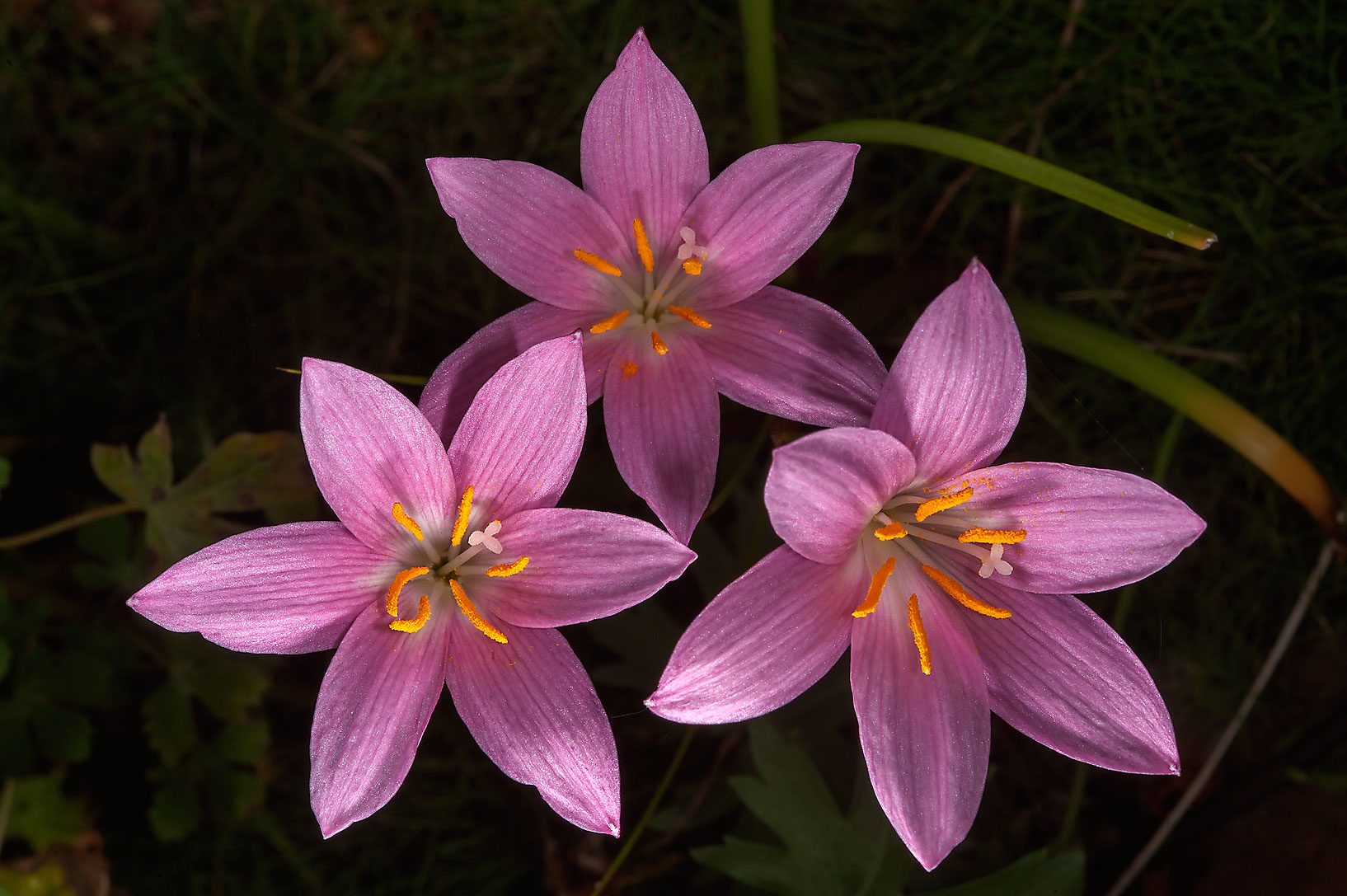 Pink rain lilies in Mercer Arboretum and Botanical Gardens. Humble (Houston area), Texas