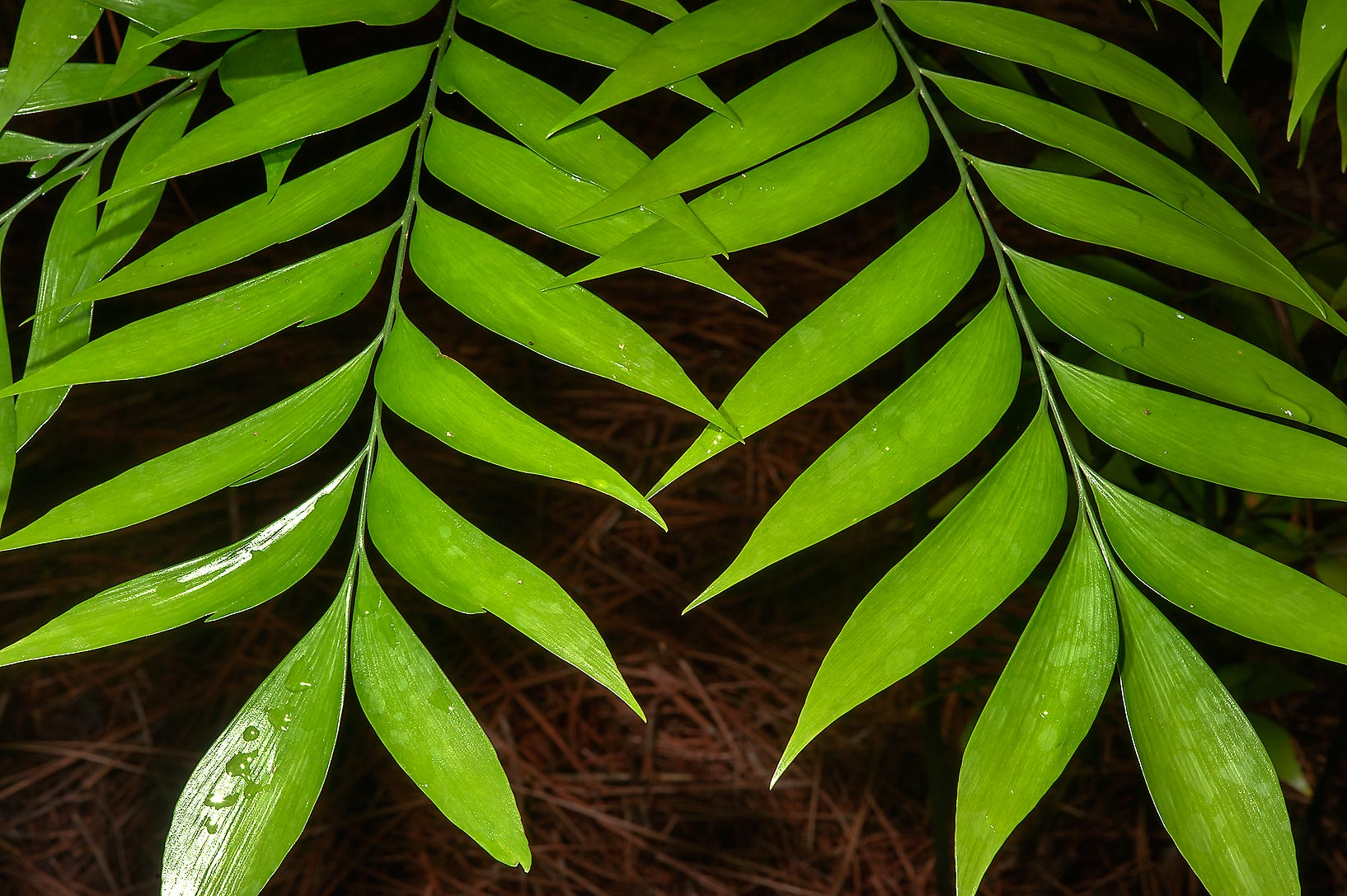 Fern leaves in Mercer Arboretum and Botanical Gardens. Humble (Houston area), Texas