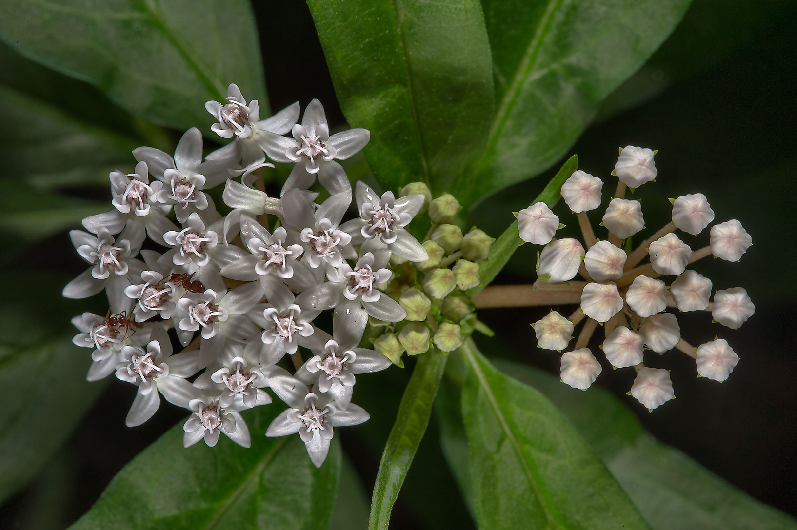 Shore milkweed (Asclepias perennis) near a...Gardens. Humble (Houston area), Texas