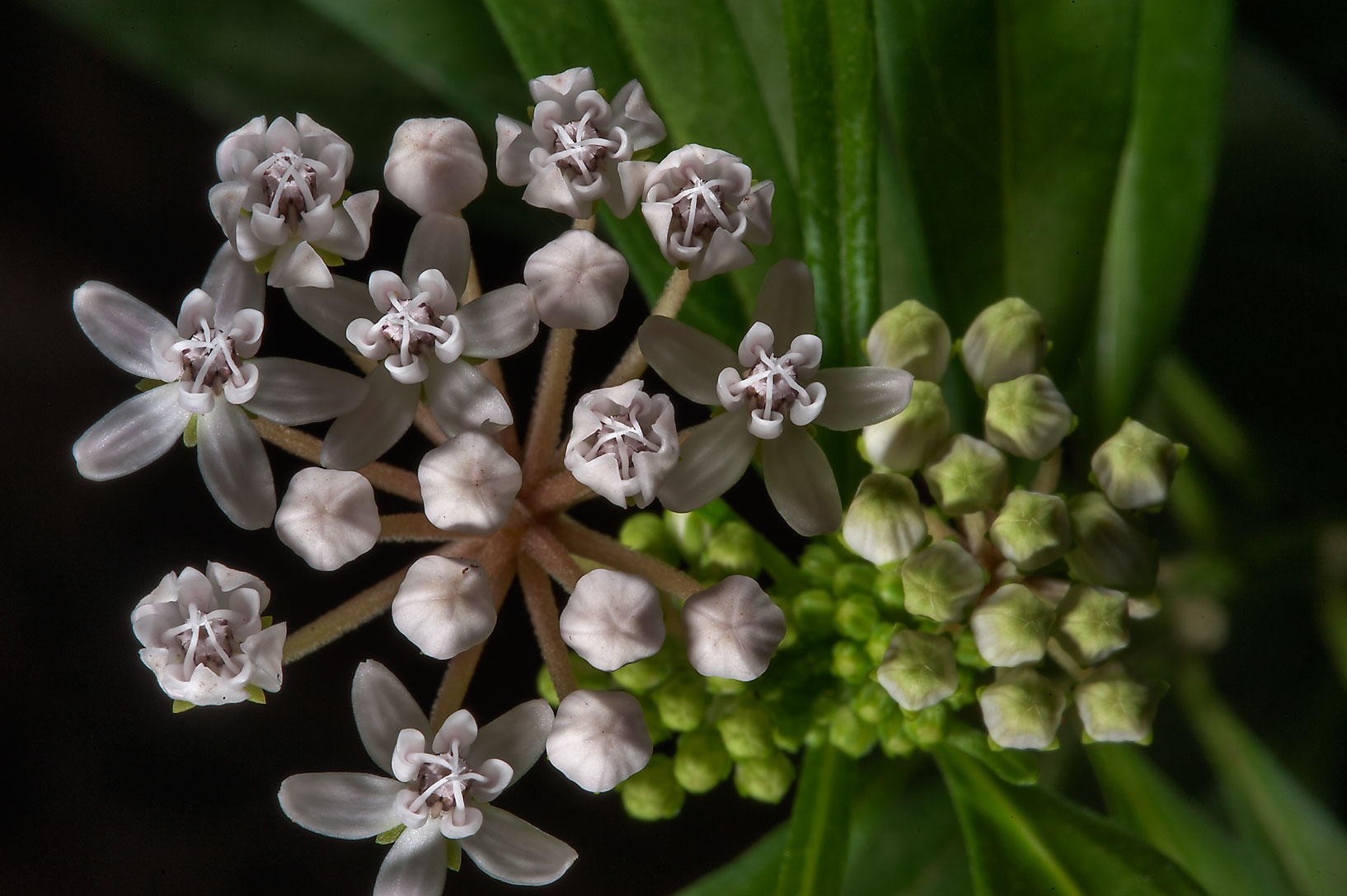 Flower buds of Shore milkweed (Asclepias perennis...Gardens. Humble (Houston area), Texas