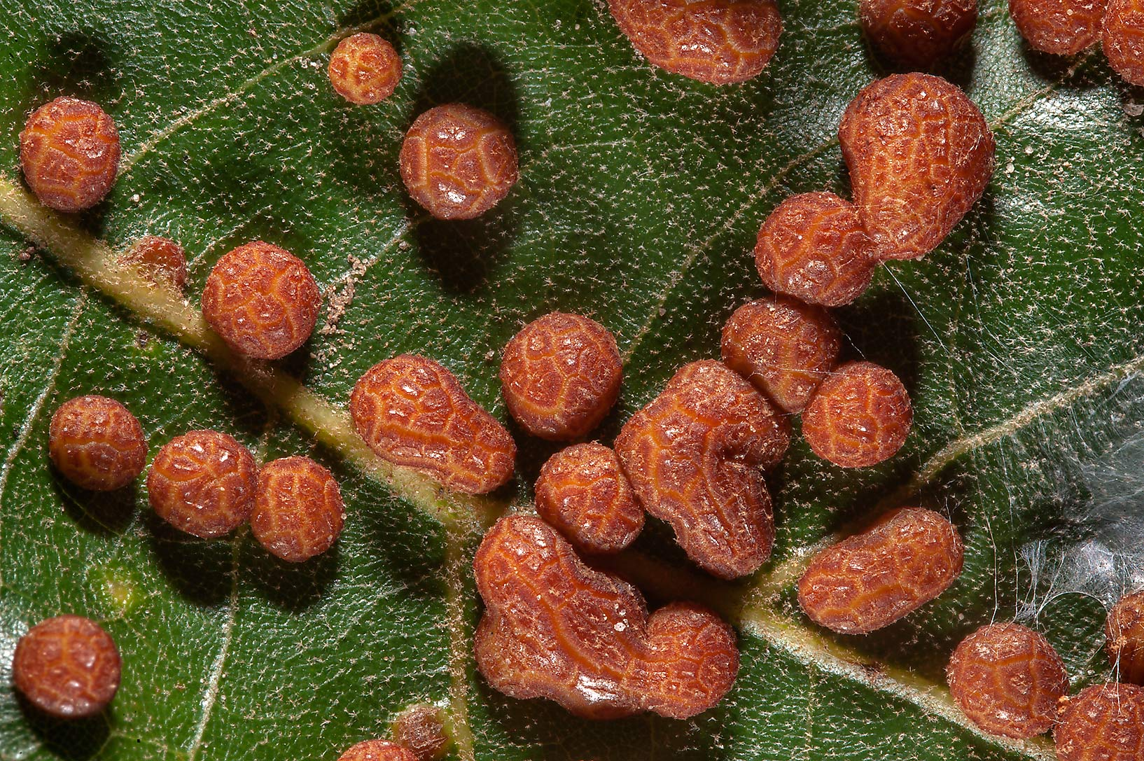 Close up of galls on an oak leaf near Birch Creek...of Somerville Lake State Park. Texas