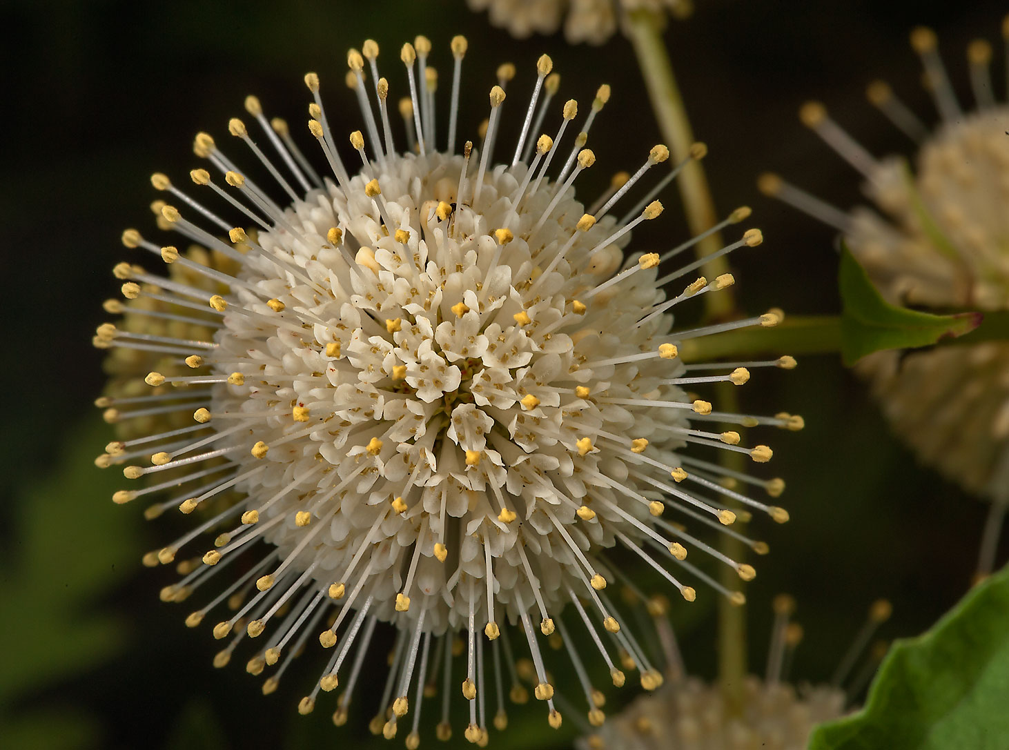 Blooming buttonbush (Cephalanthus occidentalis...of Somerville Lake State Park. Texas