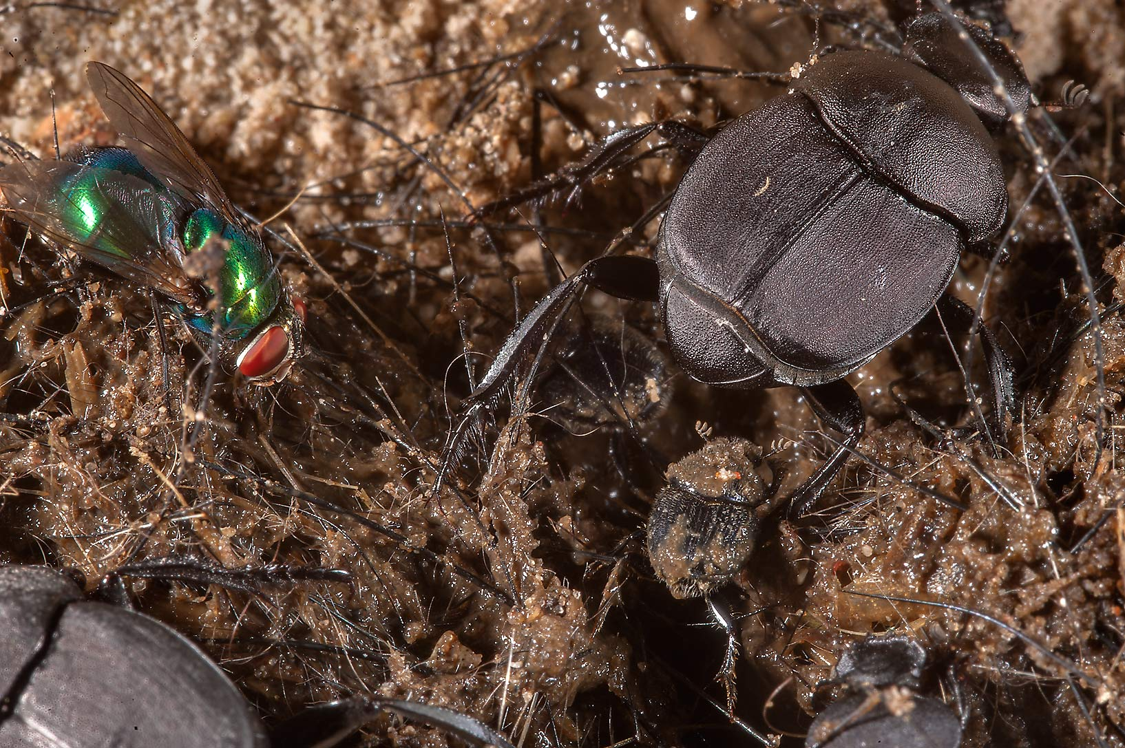 Dung beetles (Scarabeus) on dung like substrate...of Somerville Lake State Park. Texas