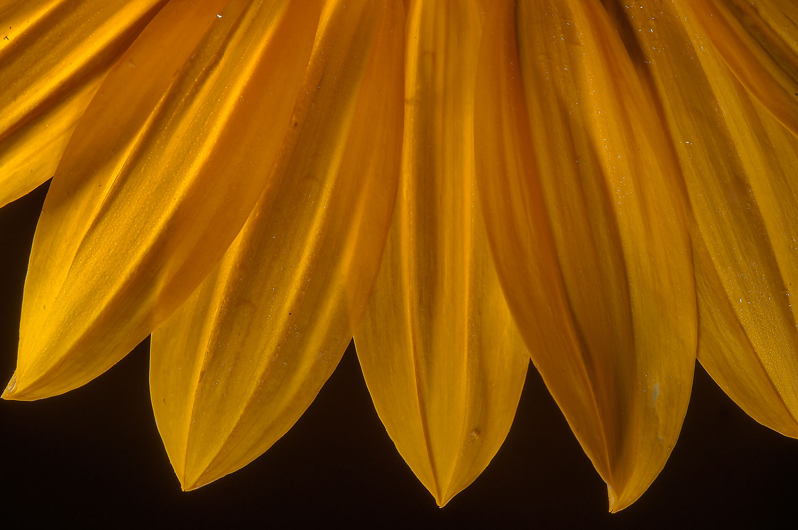 Close up of sunflower (Helianthus annuus) in Lake Bryan Park. Bryan, Texas