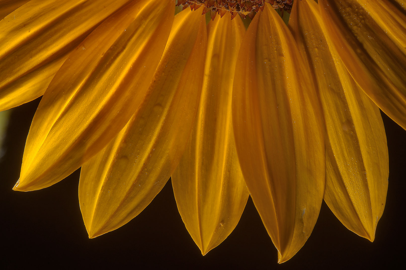 Close up of petals of sunflower (Helianthus annuus) in Lake Bryan Park. Bryan, Texas