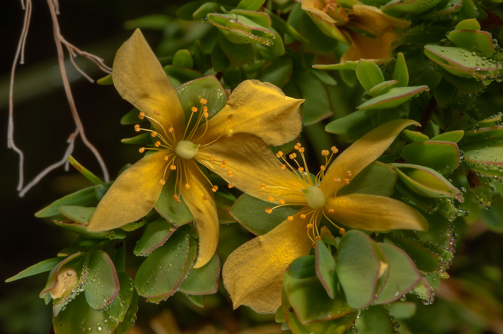 Flowers of St. Andrew cross (Hypericum, Ascyrum...in Lake Bryan Park. Bryan, Texas