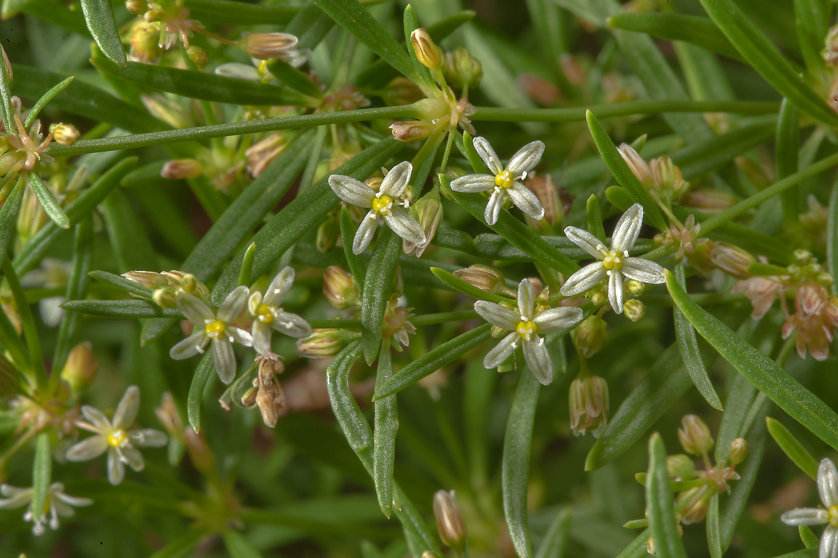 Green carpetweed (Indian Chickweed, Mollugo...M University. College Station, Texas